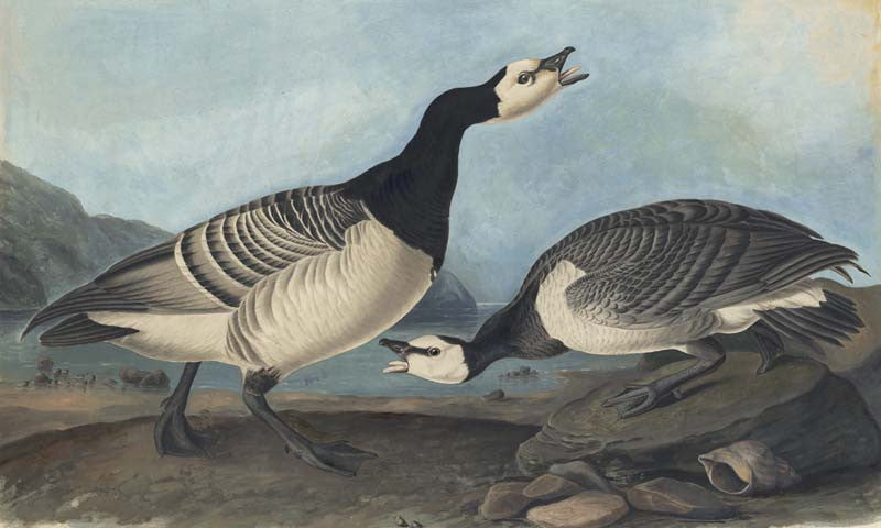Barnacle Goose, Havell pl. 296