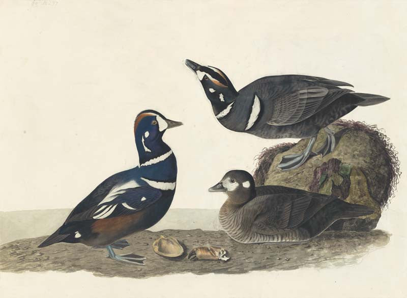 Harlequin Duck, Havell pl. 297