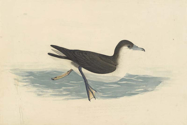 Audubon's Shearwater, Havell pl. 299