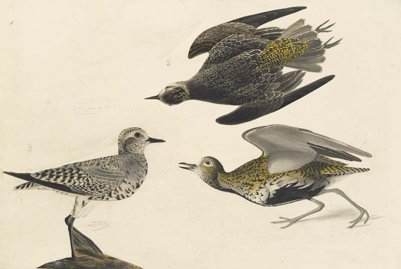 American Golden-Plover, Havell pl. 300