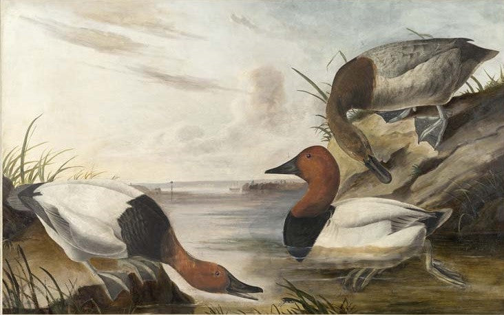 Canvasback, Havell pl. 301