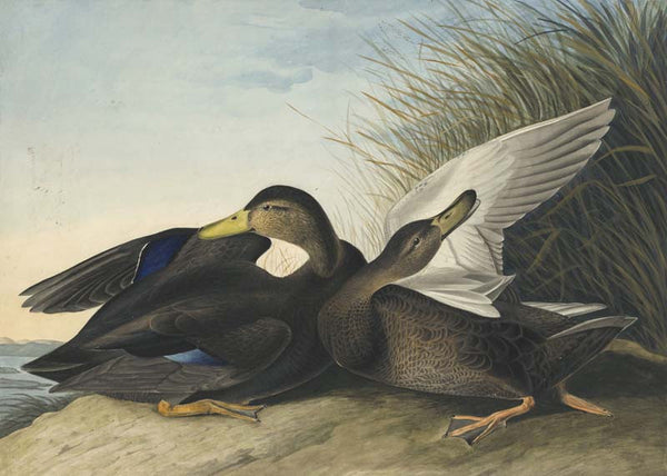 American Black Duck, Havell pl. 302