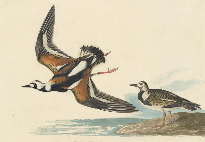 Ruddy Turnstone, Havell pl. 304