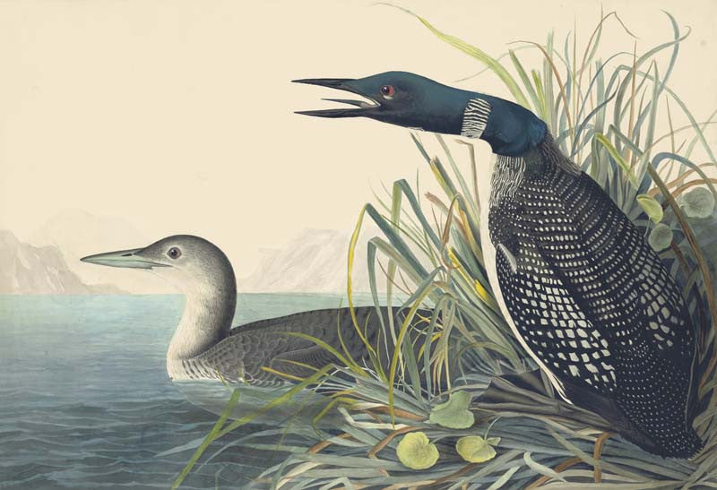 Common Loon, Havell pl. 306