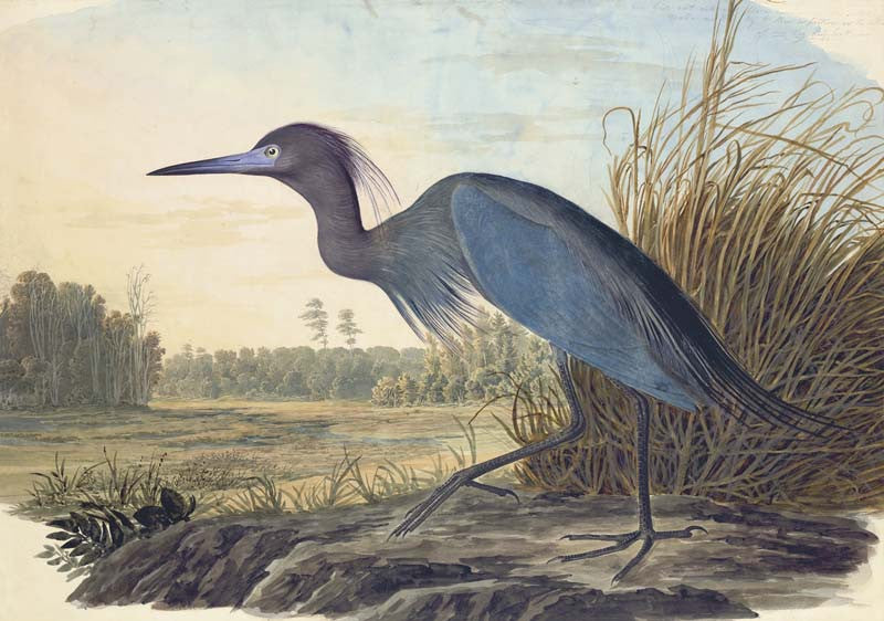 Little Blue Heron, Havell pl. 307