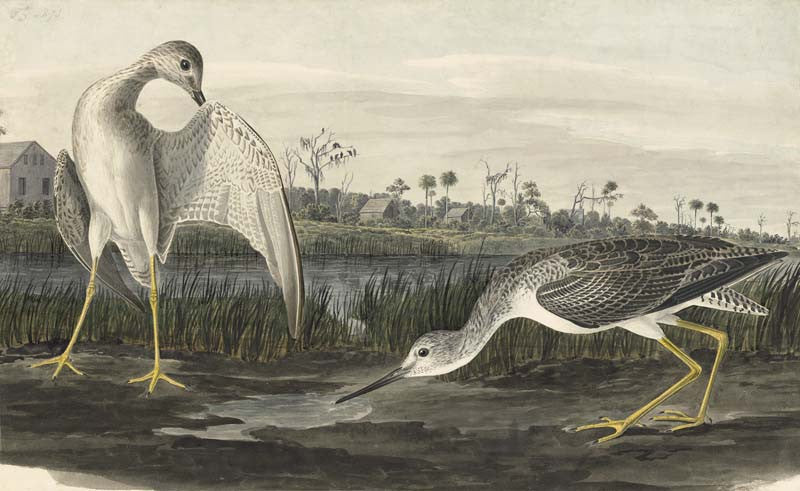 Greater Yellowlegs, Havell pl. 308