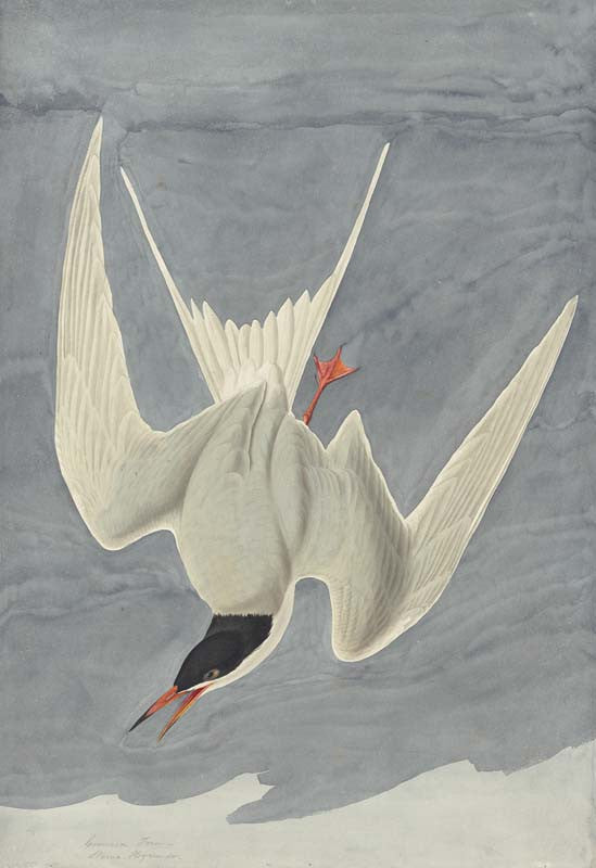 Common Tern, Havell pl. 309