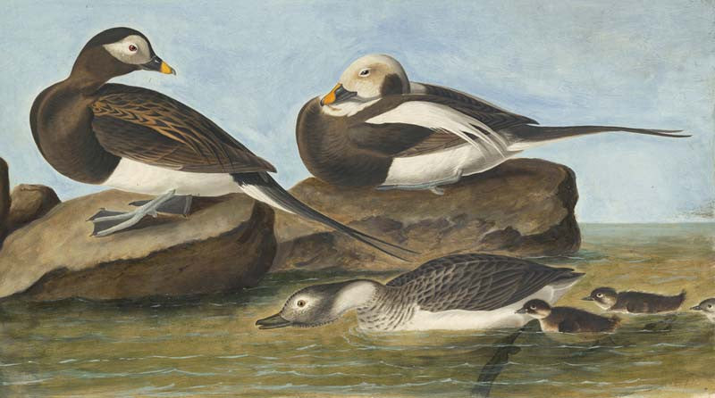 Long-tailed Duck, Havell pl. 312