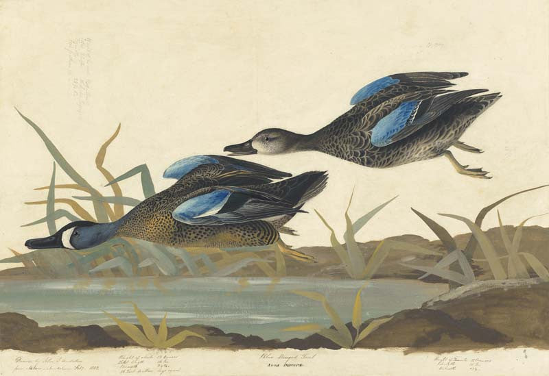 Blue-winged Teal, Havell pl. 313