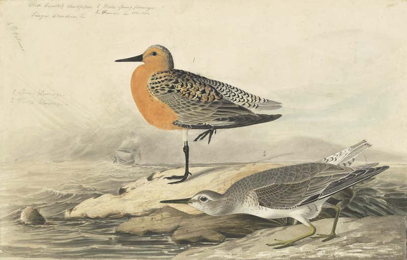 Red Knot, Havell pl. 315