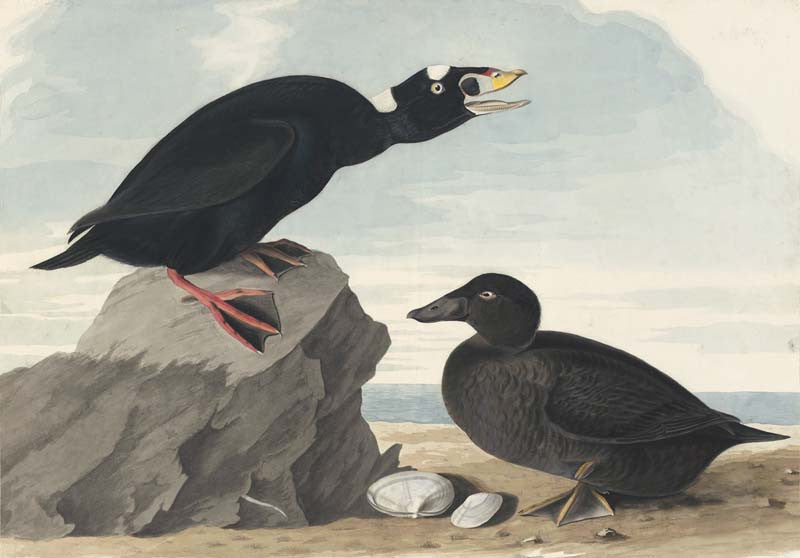 Surf Scoter, Havell pl. 317