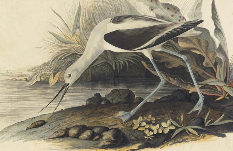 American Avocet, Havell pl. 318