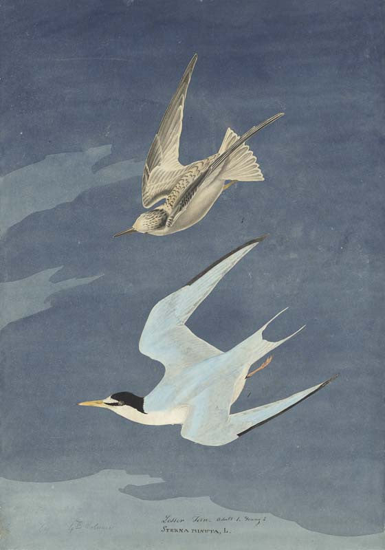 Least Tern, Havell pl. 319