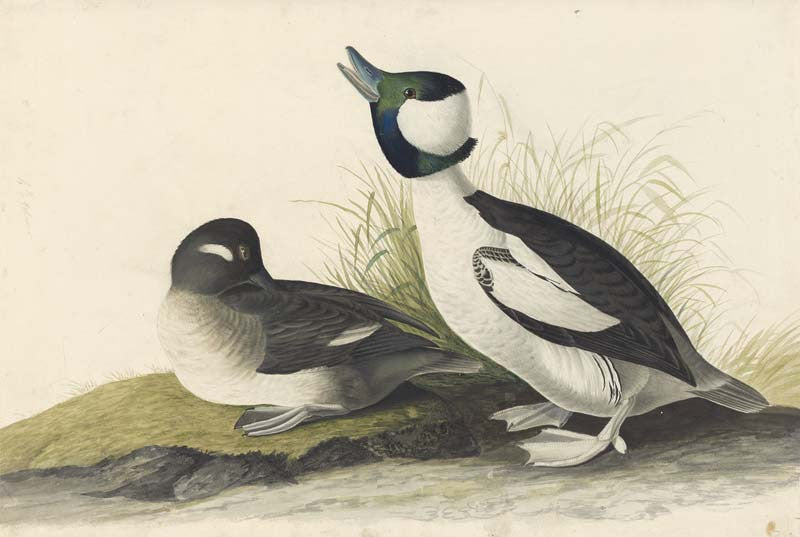 Bufflehead, Havell pl. 325