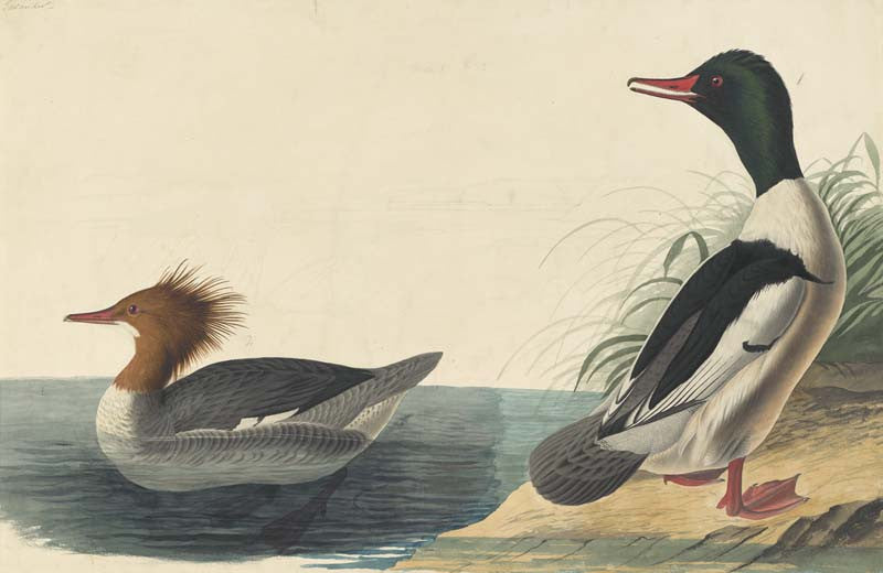 Common Merganser, Havell pl. 331