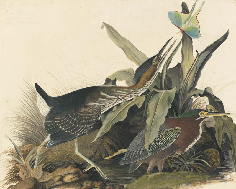 Green Heron, Havell pl. 333
