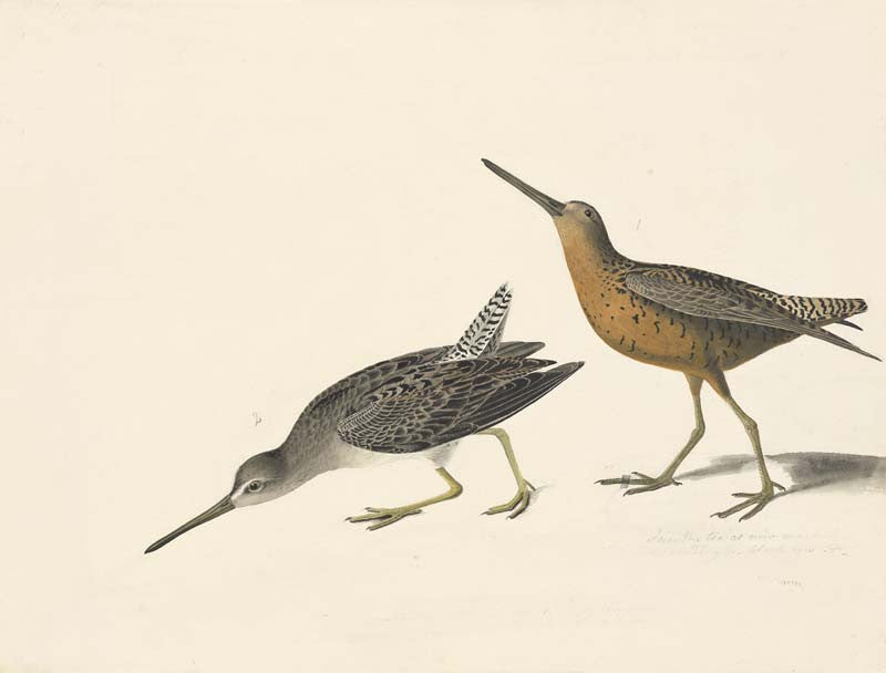 Short-billed Dowitcher, Havell pl. 335