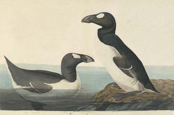 Great Auk, Havell pl. 341
