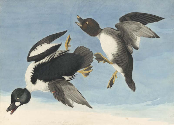 Common Goldeneye, Havell pl. 342