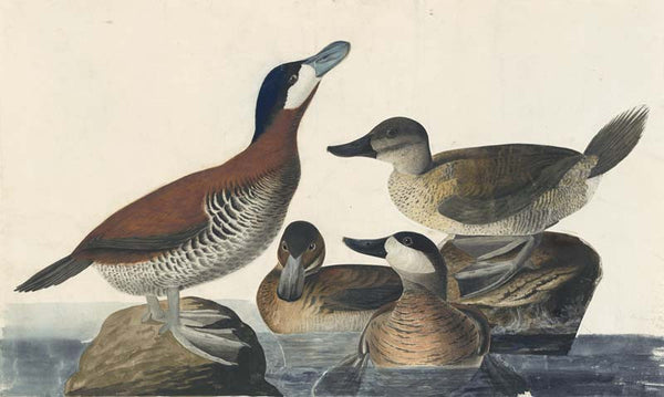 Ruddy Duck, Havell pl. 343
