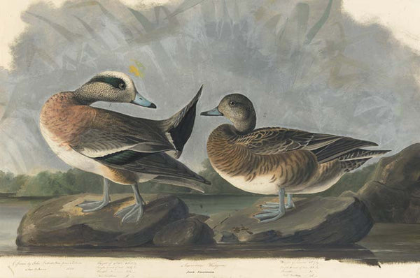 American Wigeon, Havell pl. 345