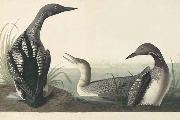 Pacific Loon, Havell pl. 346