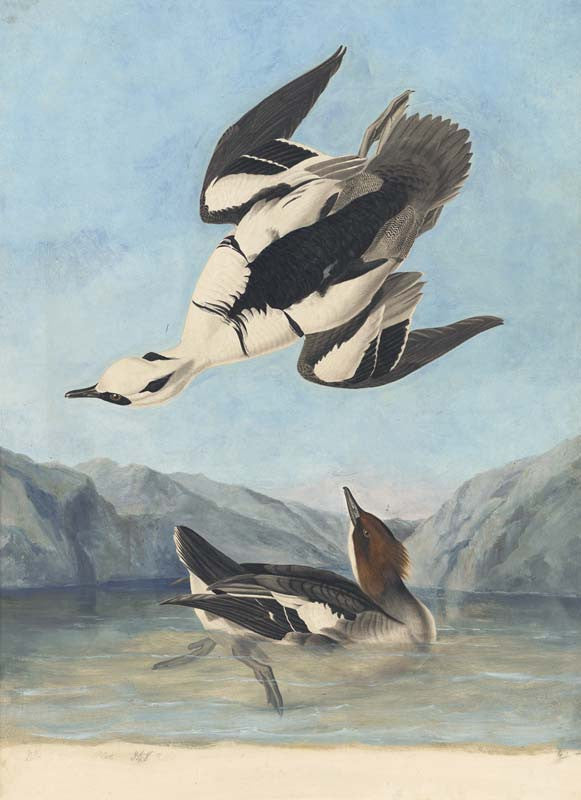 Smew, Havell pl. 347