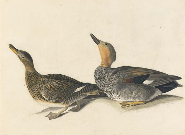 Gadwall, Havell pl. 348
