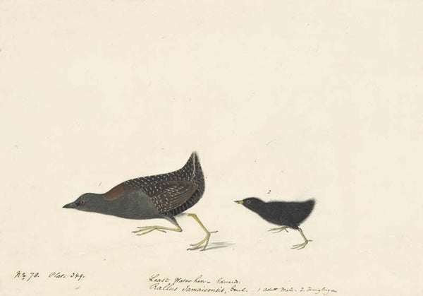 Black Rail, Havell pl. 349