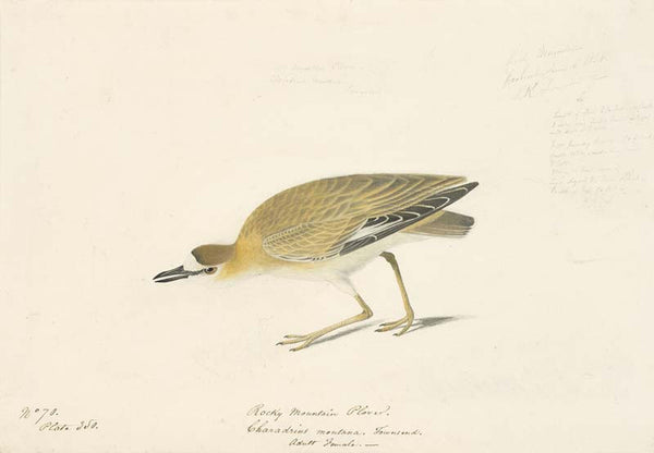 Mountain Plover, Havell pl. 350