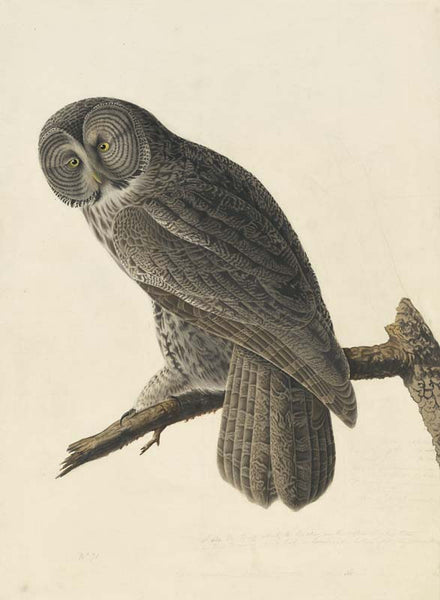 Great Gray Owl, Havell pl. 351