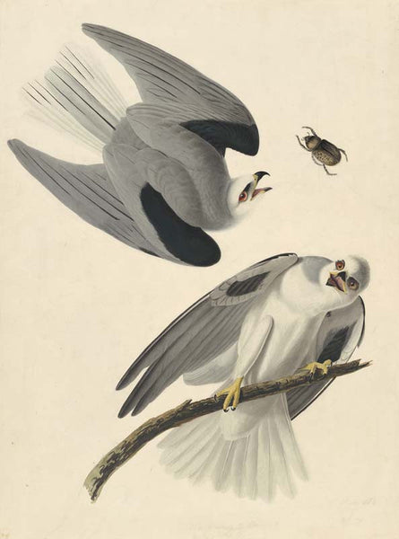 White-tailed Kite, Havell pl. 352