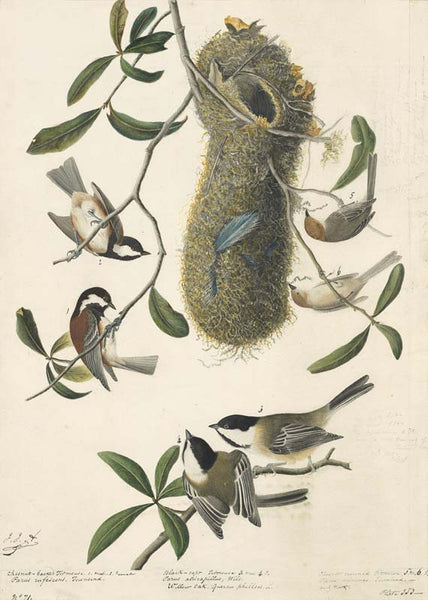 Chestnut-backed Chickadee, Bushtit and Black-capped Chicadee, Havell pl. 353