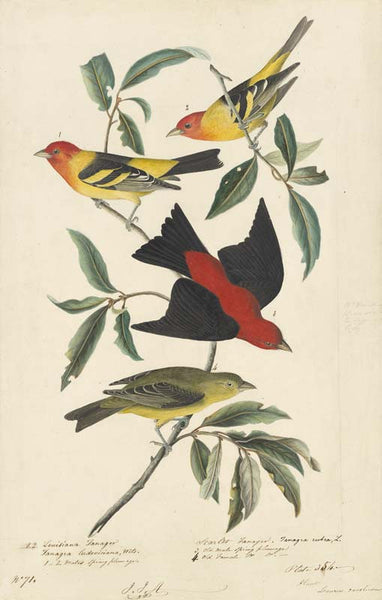 Western Tanager and Scarlet Tanager, Havell pl. 354