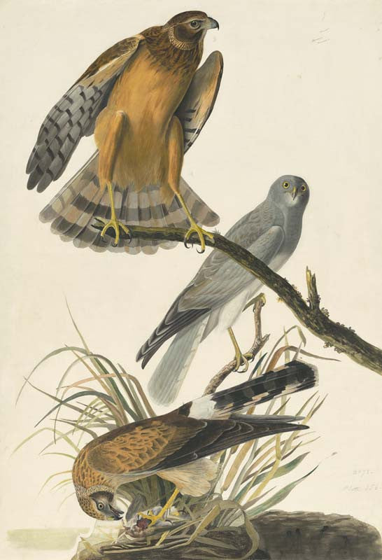 Northern Harrier, Havell pl. 356