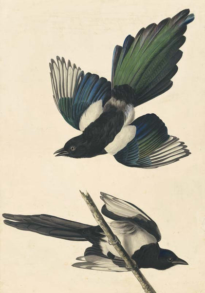 Black-billed Magpie, Havell pl. 357