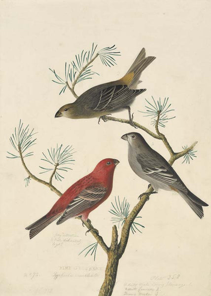 Pine Grosbeak, Havell pl. 358