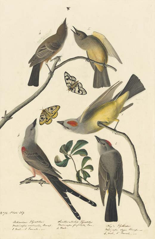 Say's Phoebe, Western Kingbird, and Scissor-tailed Flycatcher, Havell pl. 359