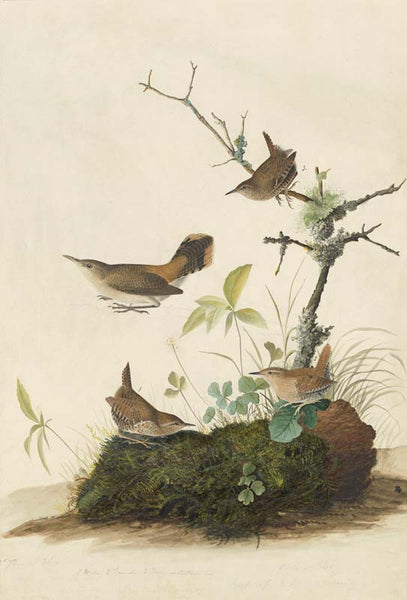 Winter Wren and Rock Wren, Havell pl. 360