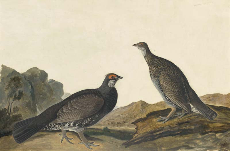 Dusky Grouse, Havell pl. 361