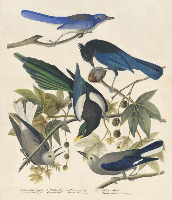 Yellow-billed Magpie, Steller's Jay, Western Scrub-Jay, and Clark's Nutcracker, Havell pl. 362