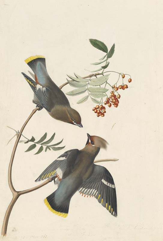 Bohemian Waxwing, Havell pl. 363