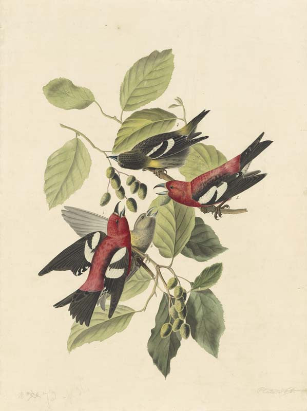 White-winged Crossbill, Havell pl. 364