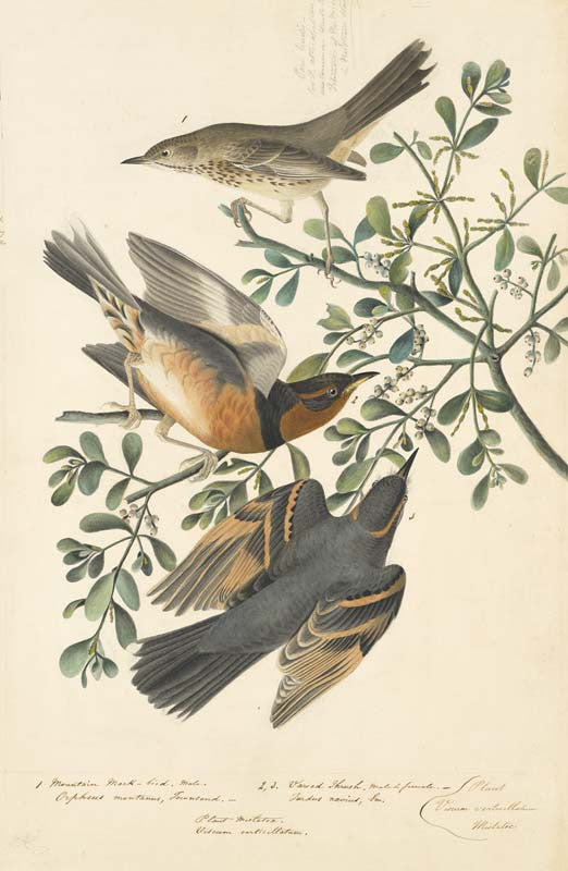 Sage Thrasher and Varied Thrush, Havell pl. 369