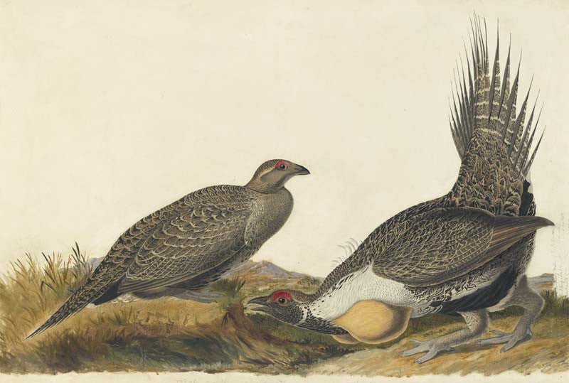 Greater Sage-Grouse, Havell pl. 371