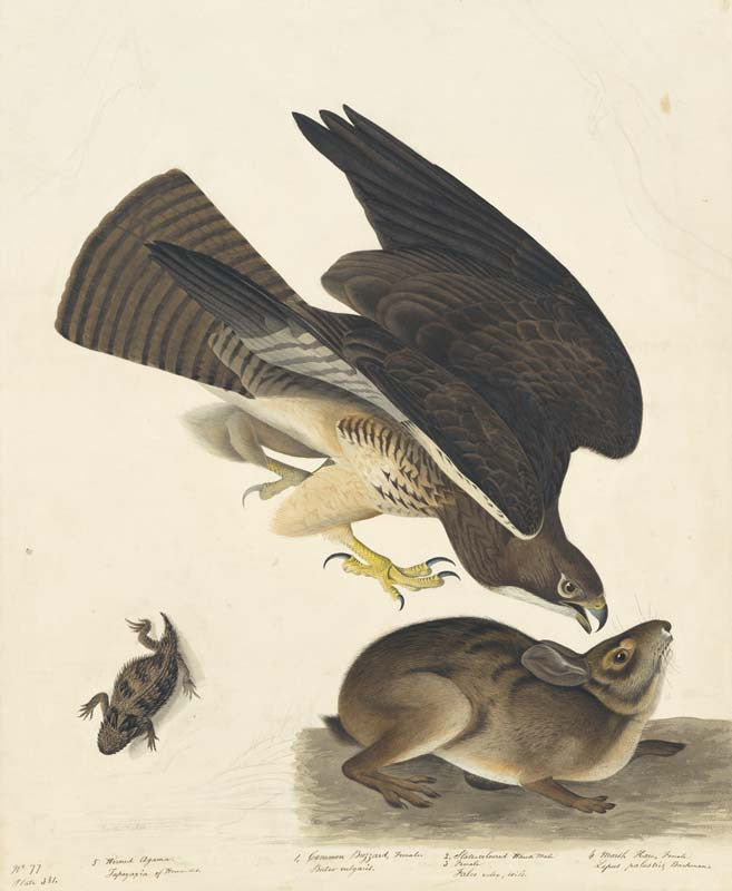 Swainson's Hawk, Havell pl. 372