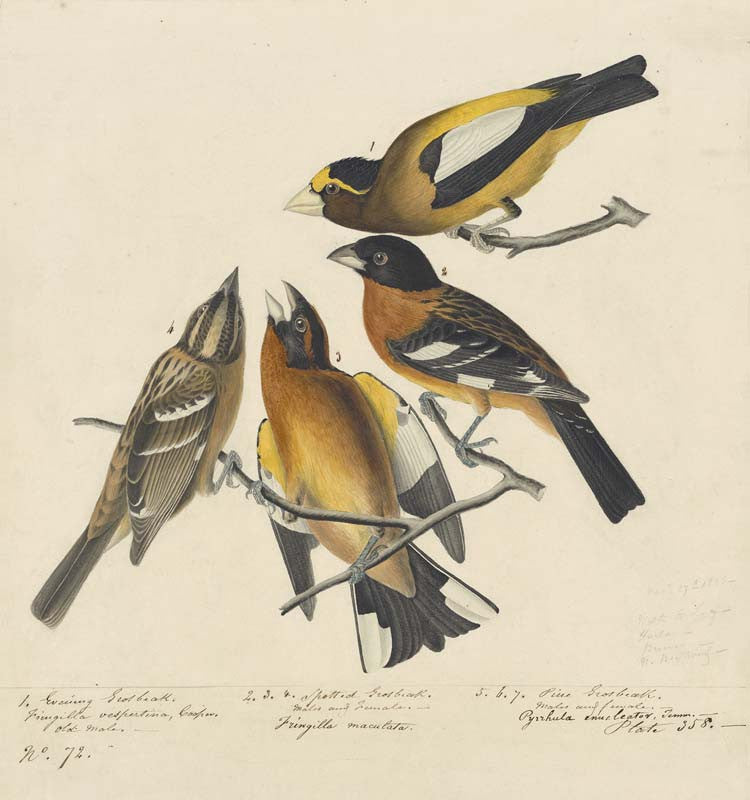 Evening Grosbreak and Black-headed Grosbeak, Havell pl. 373