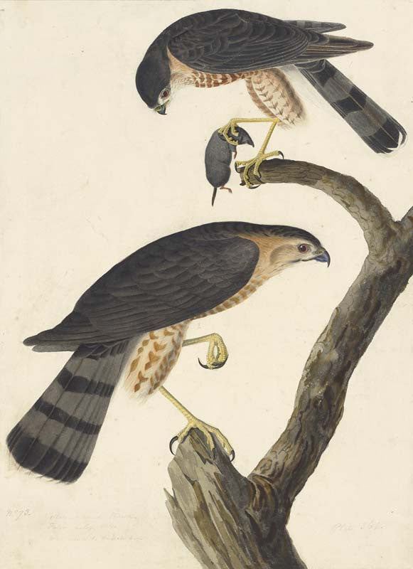 Sharp-shinned Hawk, Havell pl. 374