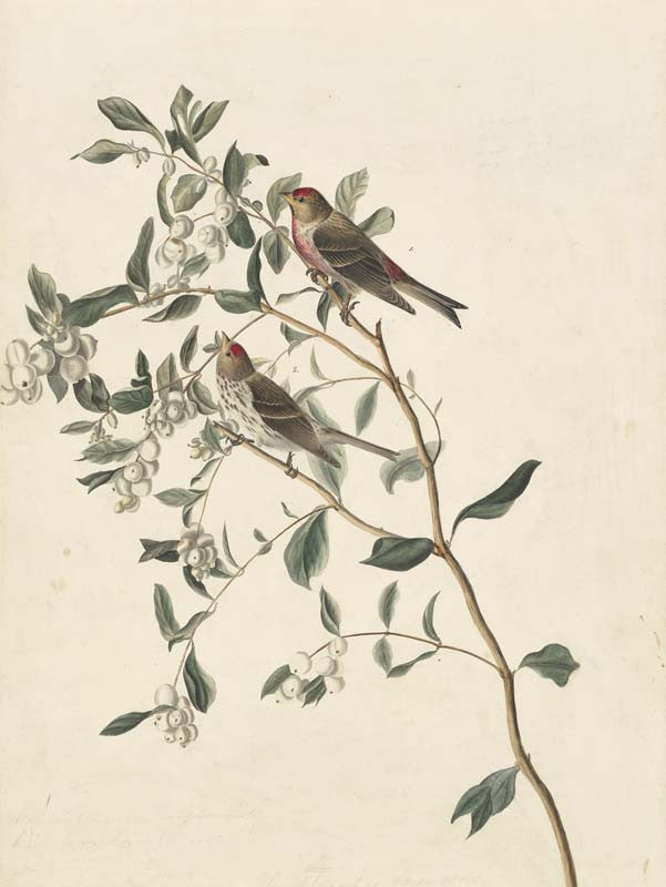 Common Redpoll, Havell pl. 375