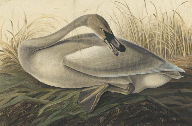 Trumpeter Swan, Havell pl. 376